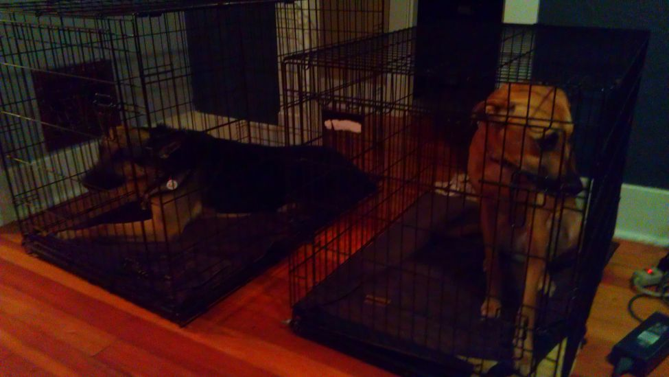 Bailey & Delilah in their crates calm and waiting for their turn to eat dinner.