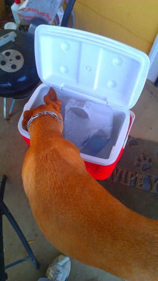 Bailey trying to help the melting process along by trying to eat the ice.  She loves ice.  Since it was 50* outside, we were trying to leave it open so the ice could melt (everything had gotten frozen into a block in there)