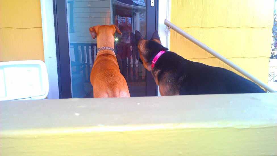 Bailey and Delilah waiting at the door for Mike to come back outside.