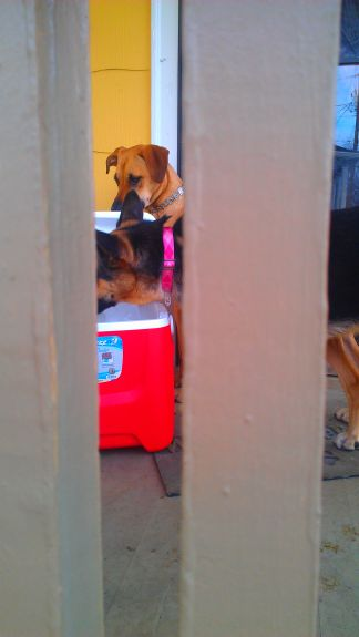 Bailey showed Delilah how cool ice is.  Then when we closed the cooler to keep them out of it, they kept trying to open it with their noses.