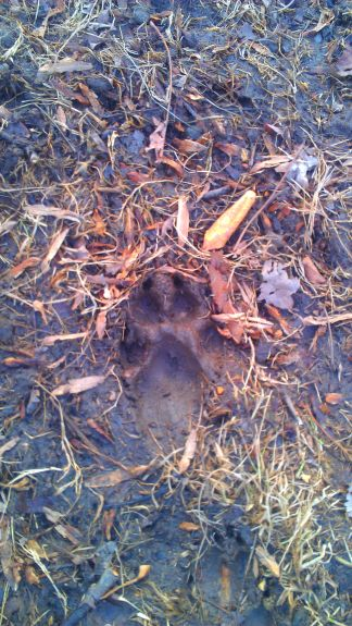Just pointing out how muddy it was!  this is a Delilah print.  Or a wolf print, I'm just not sure.