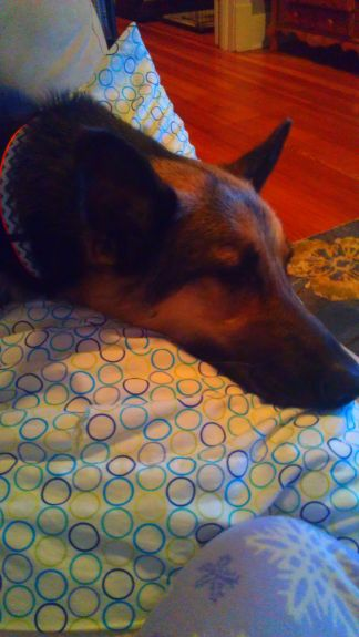 """D says """"Watching the Olympics is exhausting, I think I'll make a snuggle on mom's pillow"""""""