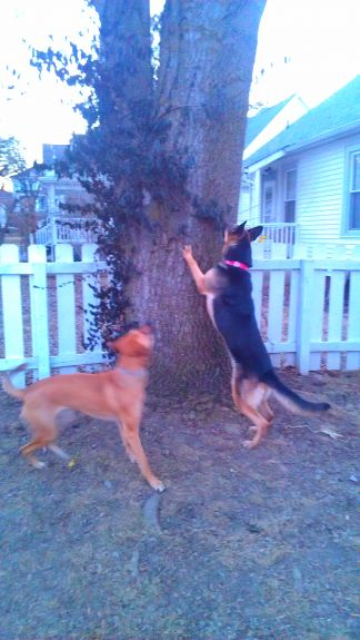 Bailey taught Delilah how to try to climb trees to find squirrels.  It's very possible Delilah knew before she moved in, but Bailey also has a knack for teaching bad habits.