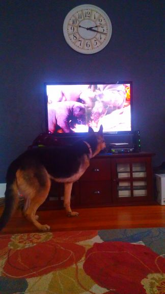 Delilah trying to find the puppies when we watched the puppy bowl